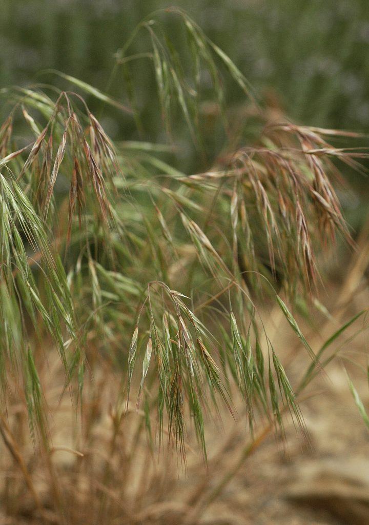 Cheatgrass